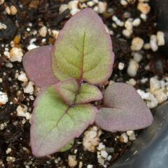 Bergamot Seedling