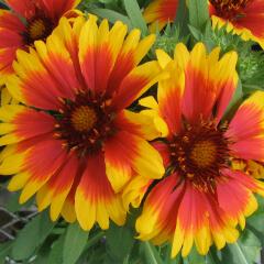 Blanketflower Mature