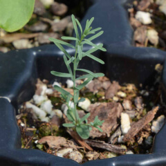 Blue Flax Seedling