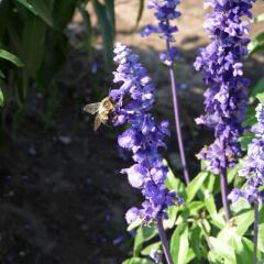 Blue Sage Mature