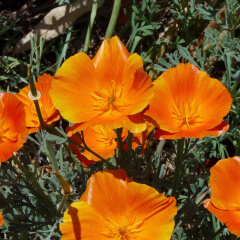 California Poppy Mature