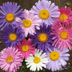 China Aster Mature