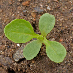 China Aster Seedling