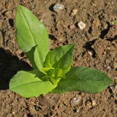 Clasping Coneflower Seedling