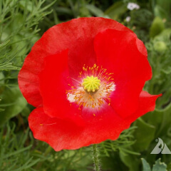Corn Poppy Mature