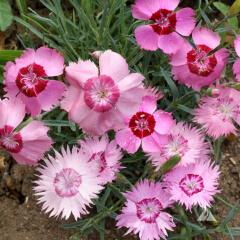 Cottage Pinks Mature