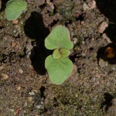 Dwarf Godetia Seedling