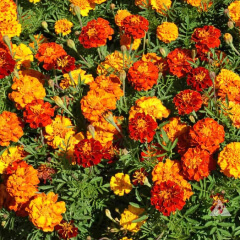 French Marigold Mature