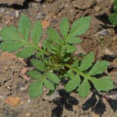 French Marigold Seedling