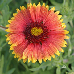 Indian Blanket Mature