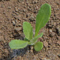 Indian Blanket Seedling