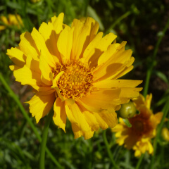 Lance Leaved Coreopsis Mature