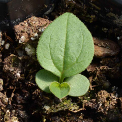 Purple Coneflower Seedling