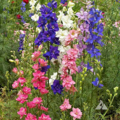 Rocket Larkspur Mature