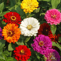 Zinnia CA Giants Mature